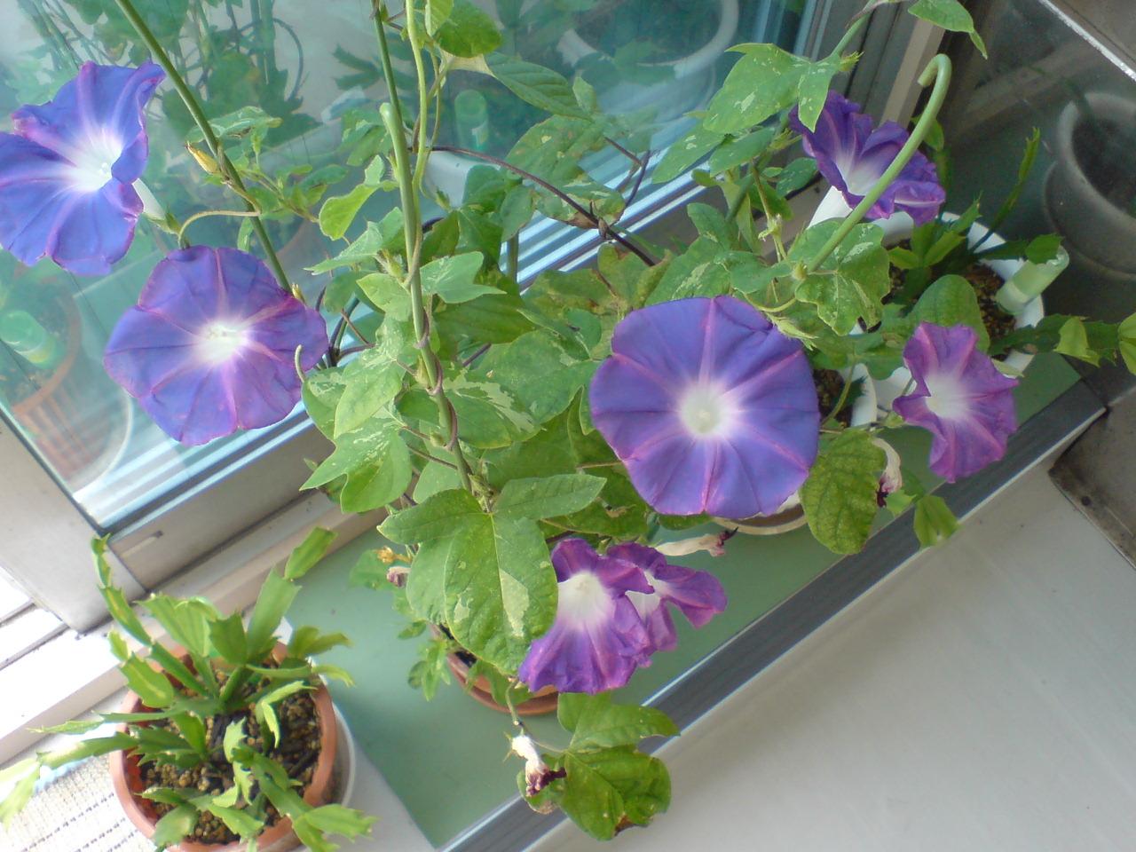 青い朝顔 綺麗にたくさん咲きました。 【朝顔生長(成長)日記の最新記事】 メンテナ...  朝顔